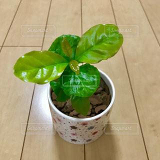 コーヒーの木🌲アラビカ種の写真・画像素材[1206106]