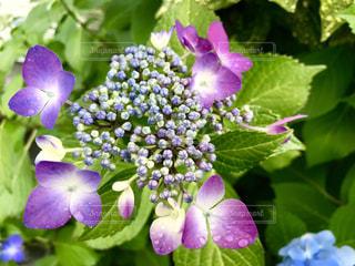 雨の中の紫陽花🌸咲き始めも素敵です😊の写真・画像素材[1227850]