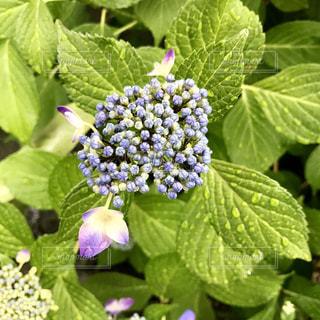 花,雨,屋外,植物,かわいい,紫,鮮やか,紫陽花,雫,梅雨,6月,しずく,紫色,草木,ガーデン
