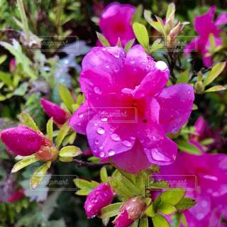 花,雨,屋外,ピンク,緑,植物,景色,鮮やか,雫,梅雨,6月,しずく,草木,ガーデン