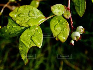 屋外,植物,かわいい,葉,ガーデニング,ブルーベリー,実,果実,雫,梅雨,6月,しずく