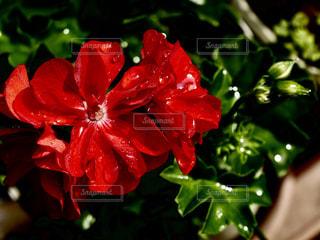 花,屋外,植物,赤,鮮やか,ガーデニング,雫,梅雨,6月,しずく,草木,ゼラニウム,ローズゼラニウム