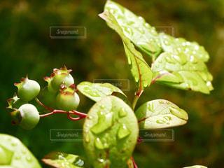 屋外,緑,植物,葉,ブルーベリー,実,雫,梅雨,6月,しずく,草木