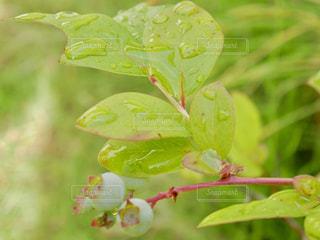 芝生,雨,屋外,緑,植物,葉,草,ブルーベリー,キラキラ,実,雫,梅雨,6月,しずく,草木