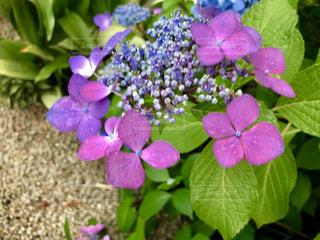 雨が似合う紫陽花🌸の写真・画像素材[1238417]