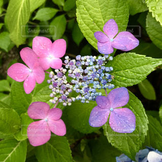 雨の中の紫陽花🌸の写真・画像素材[1238422]