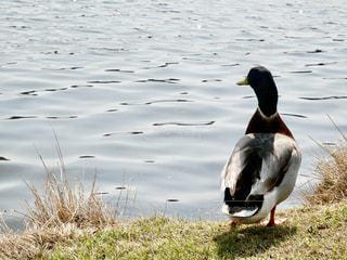 湖畔の野鳥の写真・画像素材[1264946]
