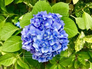 水色の紫陽花の写真・画像素材[1312638]