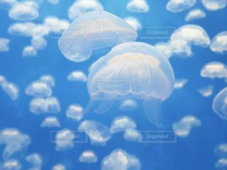 アクアワールド大洗のクラゲの写真・画像素材[1312672]