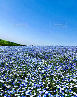 青空とネモフィラの丘🌼の写真・画像素材[1312919]