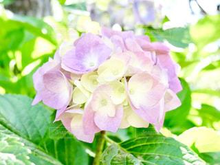 かわいい紫陽花🌸の写真・画像素材[1368436]
