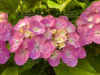 ピンク色の紫陽花🌸の写真・画像素材[1394604]