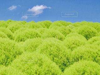 ひたち海浜公園みはらしの丘🍃コキアの写真・画像素材[1425026]