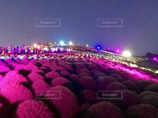 ピンク,植物,鮮やか,ライトアップ,コキア,pink,国営ひたち海浜公園,茨城県,ひたちなか市,ピンクだらけ