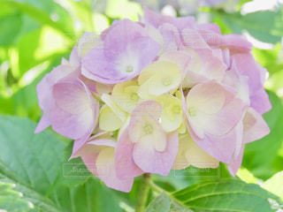 ピンクの紫陽花🌸の写真・画像素材[1434514]