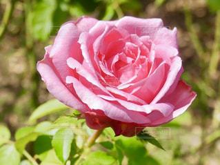 花,屋外,ピンク,植物,バラ,景色,薔薇,植物園,pink,茨城県,那珂市