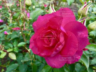花,屋外,ピンク,植物,バラ,景色,薔薇,植物園,pink,茨城県,那珂市,茨城県植物園