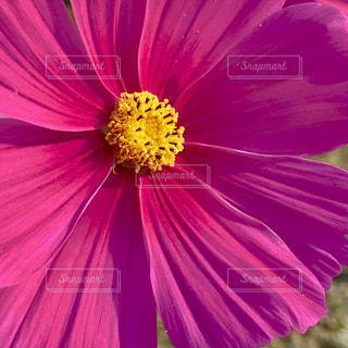 自然,花,秋,ピンク,植物,コスモス,茨城県