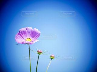 花,秋,屋外,ピンク,植物,かわいい,コスモス,青空,秋桜,草木,茨城県