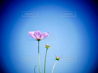 花,屋外,ピンク,植物,かわいい,コスモス,青空,秋桜,茨城県
