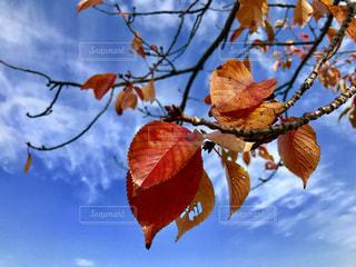 青空と紅葉の写真・画像素材[1465319]