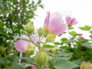 花,ピンク,植物,茨城県,フヨウ,那珂市,一乗院