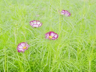 公園,ピンク,植物,かわいい,コスモス,秋桜,茨城県,水戸市,千波公園