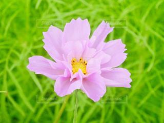 花びらが多いコスモス🌸の写真・画像素材[1484706]