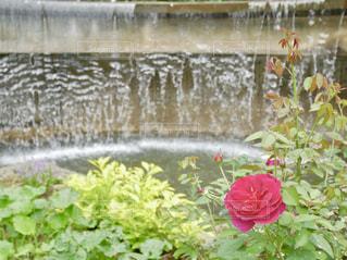 滝と赤いバラ🌹✨の写真・画像素材[1484758]