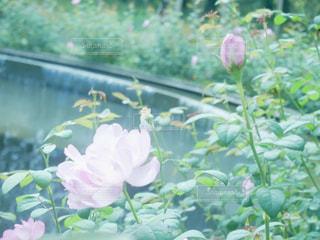 花,ピンク,植物,水,バラ,滝,植物園,茨城県