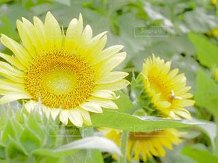 花,ひまわり,黄色,葉,向日葵,元気,未来,昆虫,夢,ミツバチ,上向き,ハチ,ポジティブ,希望,フォトジェニック,前向き,生き生き,インスタ映