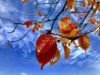 青空と鮮やかな紅葉🍁✨の写真・画像素材[1613519]