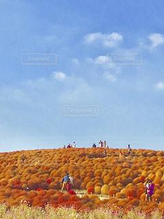 青い空と鮮やかなコキア🍁✨の写真・画像素材[1614622]