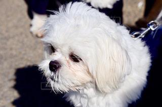 犬,公園,動物,屋外,白,かわいい,ホワイト,哺乳類,インスタ映