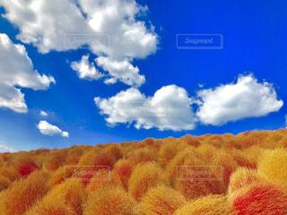 青空にハートっぽい雲とコキアの写真・画像素材[1871466]