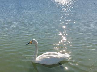 優雅に泳ぐ白鳥の写真・画像素材[1878365]