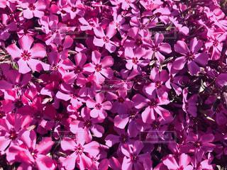 ピンクの芝桜🌸の写真・画像素材[2024322]