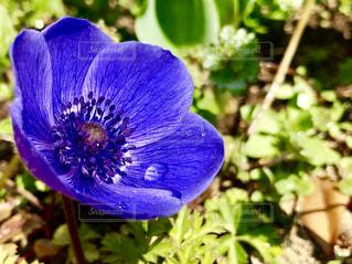 花,屋外,植物,かわいい,青,鮮やか,可愛い,雫,華やか,しずく,アネモネ