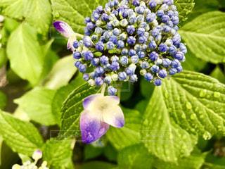 花,屋外,植物,かわいい,あじさい,青,紫陽花,可愛い,蕾,雫,しずく,紫色
