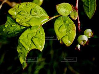 まだ緑色のブルーベリーの実🌿葉に雫の写真・画像素材[2123561]
