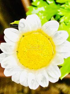 屋外,植物,かわいい,水滴,白い花,雨上がり,雫,しずく,ノースポール
