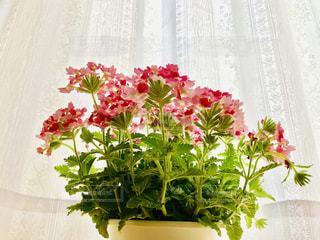 涼しいレースのカーテンとピンクの花バーベナ❀.(*´▽`*)❀.の写真・画像素材[2168800]