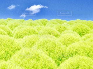 青空と、ふわふわ~もこもこコキア💚の写真・画像素材[2280029]