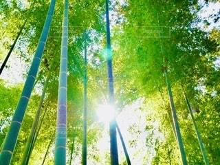 竹やぶに輝く光✨の写真・画像素材[2633760]