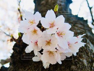 花,桜,ピンク,白,景色,樹木,草木,さくら,ブルーム,ブロッサム,フローラ