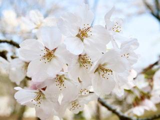 花,桜,ピンク,青空,景色,満開,装飾,草木,さくら,ブルーム,ブロッサム