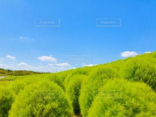 青空と鮮やかグリーンのコキアの写真・画像素材[3145216]