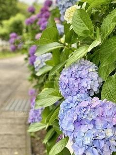 公園の紫陽花が続く道の写真・画像素材[3375811]