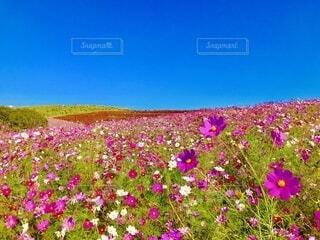 コスモスが咲く丘🌸の写真・画像素材[4160397]