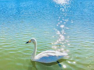 白鳥の湖🦢の写真・画像素材[4612493]